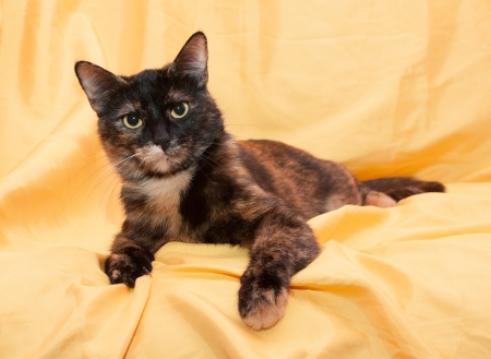 sternly: Three-colored cat with yellow eyes looking sternly lying on yellow background