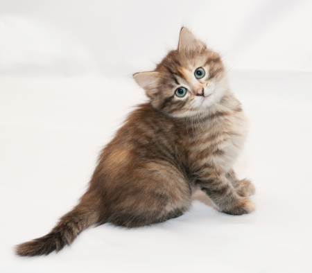 cocked: Tricolor fluffy kitten sitting head cocked on white background Stock Photo