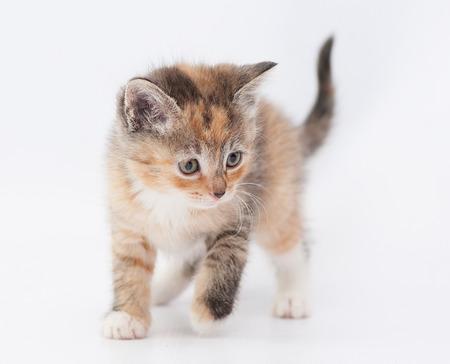 sneaks: Tricolor kitten carefully sneaks looking away on white background