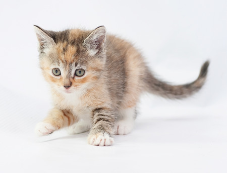 sneaks: Tricolor kitten carefully sneaks lifted front paw on white background