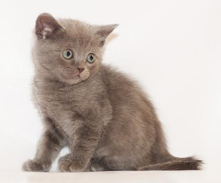 scottish straight: Little Kitten Scottish Straight sitting and looking away on gray-white background