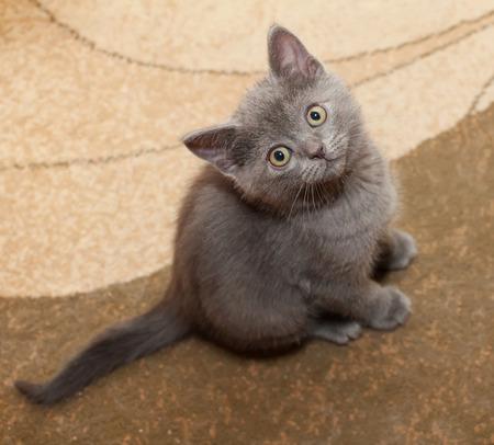 scottish straight: Scottish Straight gray kitten with yellow eyes sitting