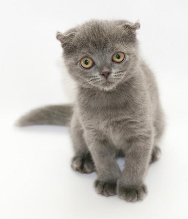 suspiciously: Small blue kitten Scottish Fold sitting squinting suspiciously on gray-white background Stock Photo