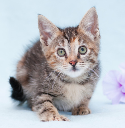 sneaks: Beautiful tricolor kitten with green eyes sneaks up on blue background