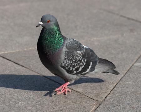pidgeon: Pigeon walking on granite sidewalk