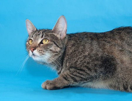 sneaks: Tabby cat with yellow eyes sneaks up on a blue background Stock Photo