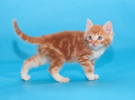 sneaks: Red fluffy cat sneaks up on blue background