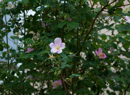 wild  rose: Bush rosa selvatica con fiori rosa
