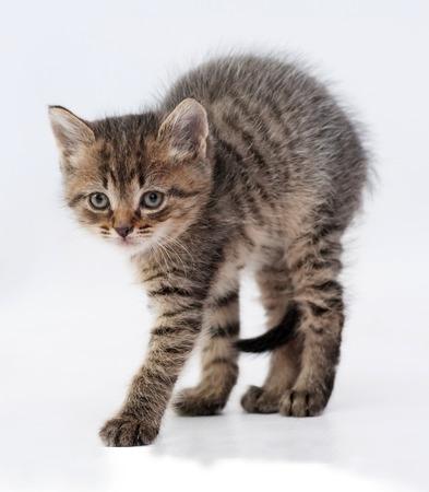 arching: Peque�o gatito tabby mullido pena arqueando la espalda sobre fondo gris