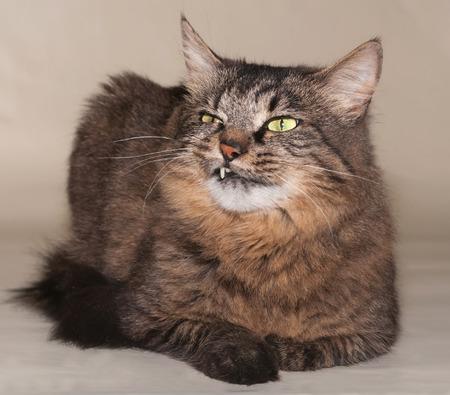 bared teeth: Striped siberian cat viciously bared teeth