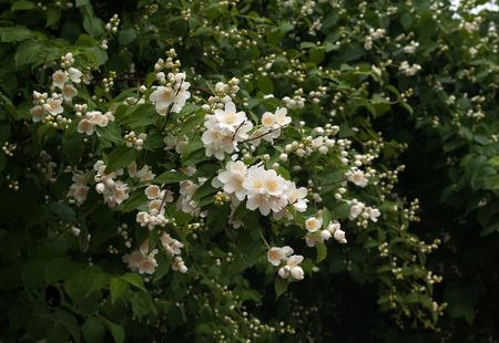 jasmine bush: Blooming jasmine bush with rain drops Stock Photo