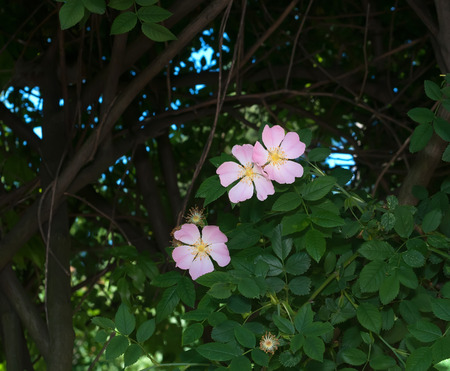 wild  rose: Fiori selvatici rosa su sfondo di foglie
