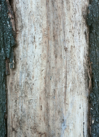 bark carving: Old wood texture with traces of borers