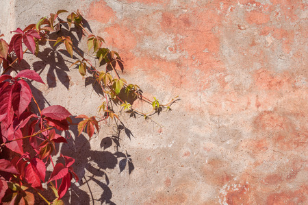 Red and green Ivy on old pink wall photo