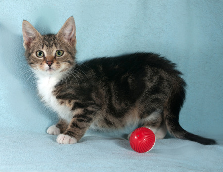 Fluffy tabby kitten standing on blue next to red ball photo