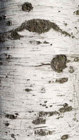 birch bark: Texture of birch bark covered with green moss Stock Photo