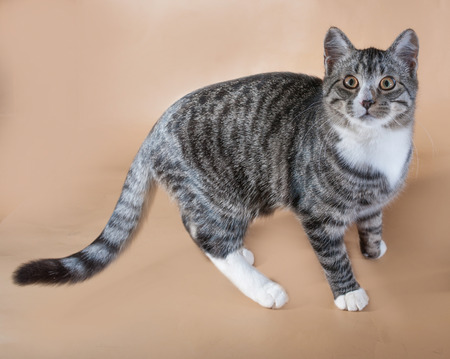 anima: Striped with white kitten standing on brown background