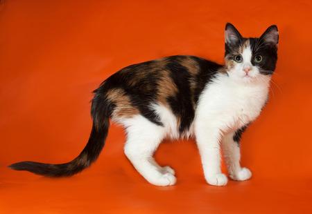 tricolor: Tricolor fluffy kitten standing on orange background