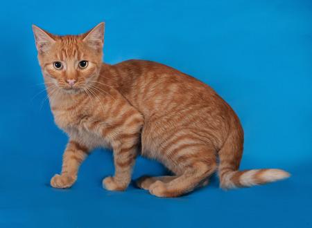 sneaks: Ginger kitten sneaks on blue background
