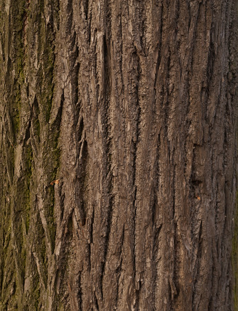 bark carving: Texture of old tree bark covered with green moss