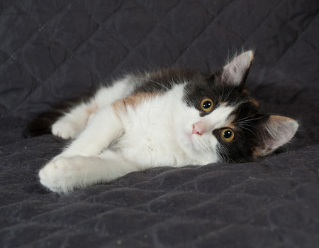 bedspread: Tricolor kitten sitting on black quilted bedspread