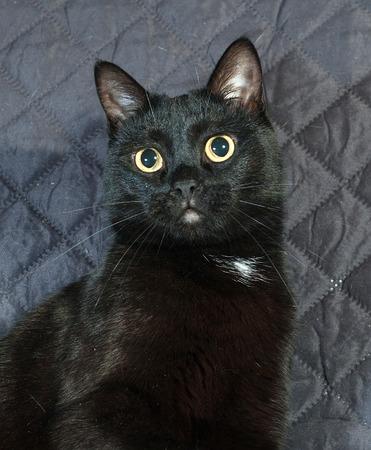 bedspread: Black cat sitting on black quilted bedspread