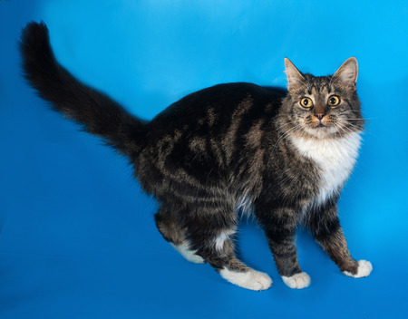 sneaking: Longhaired tabby and white cat sneaking on blue background Stock Photo