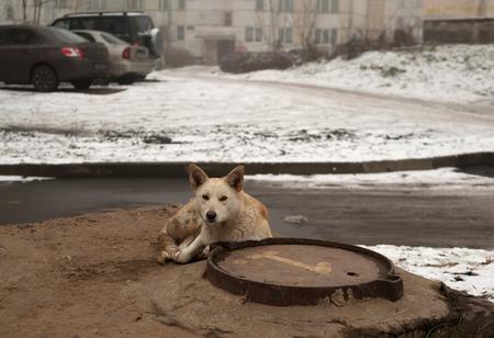basking: Stray white dirty dog basking in winter on hatch