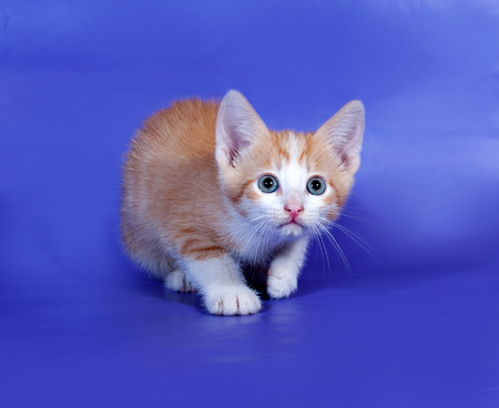 sneaks: Red and white cat sneaks up on blue background Stock Photo