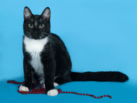 christmas beads: Black and white cat with Christmas beads lies on blue background