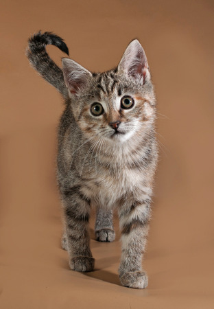 tricolor: Tricolor kitten standing on brown background