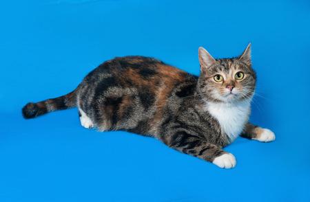 tricolor: Tricolor cat lies on blue background