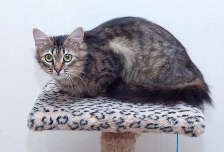 climbing frame: Gatto soriano Fluffy con gli occhi verdi sdraiato su pagina di scalata