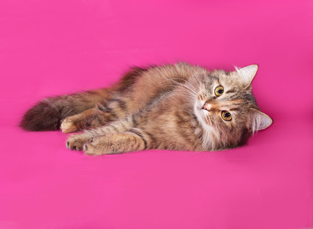 tricolor: Tricolor cat lies on pink background Stock Photo