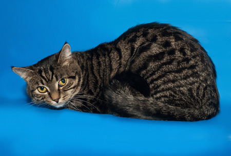 Tabby cat lying on blue background 版權商用圖片