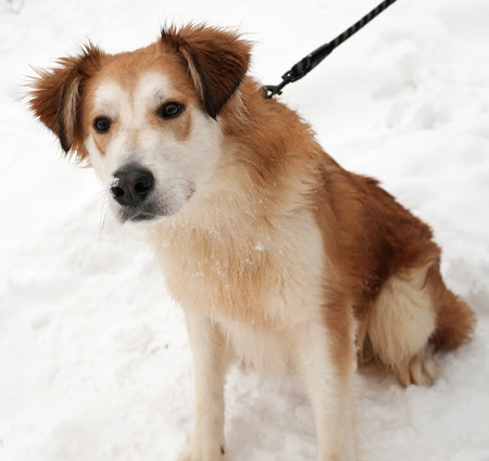 furry tail: Ginger shaggy dog on white snow Stock Photo