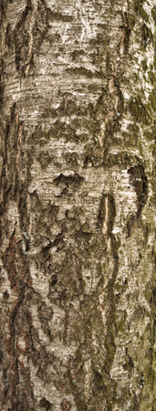 bark carving: Texture of birch tree bark covered with green moss