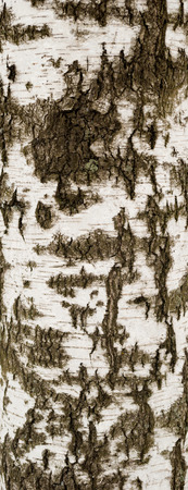 Texture of old birch bark covered with green moss photo