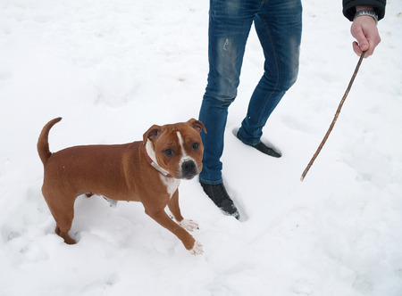 stafford: Inglese rosso e bianco Stafford che salta in bianco della neve per bastone