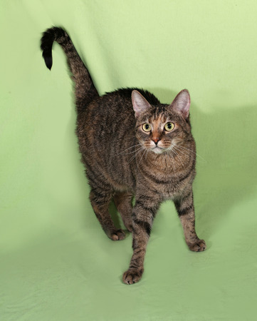 Tabby cat standing on green background