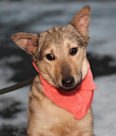 bandanna: Yellow puppy in pink bandanna outside