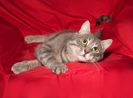 gray cat: Striped gray cat licked on red background