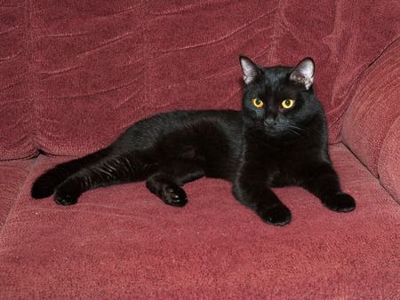 red couch: Black cat lying on red couch