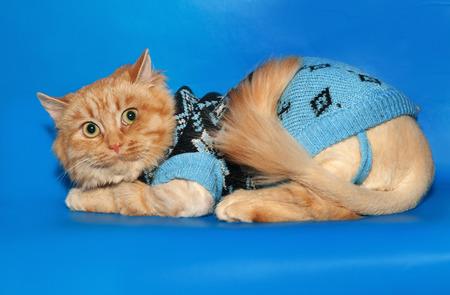 bobbed: Ginger bobbed cat sweater lying on blue background Stock Photo
