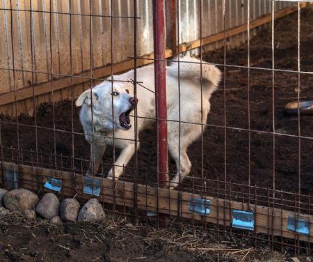 dientes sucios: Perro blanco ladra en jaula sucia