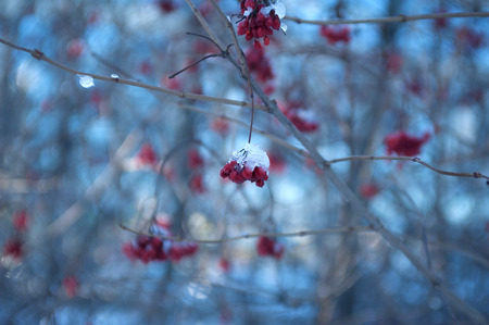 Red Rowan Berries Covered With Fresh Snow photo