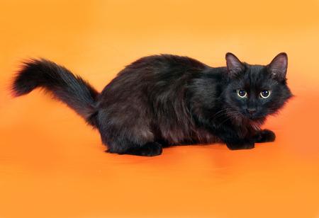 fluffy: Negro gato mullido se encuentra en el fondo de color naranja Foto de archivo