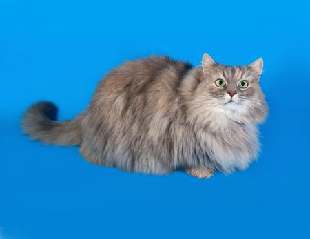 fluffy: Tricolor gato mullido miente en el fondo azul