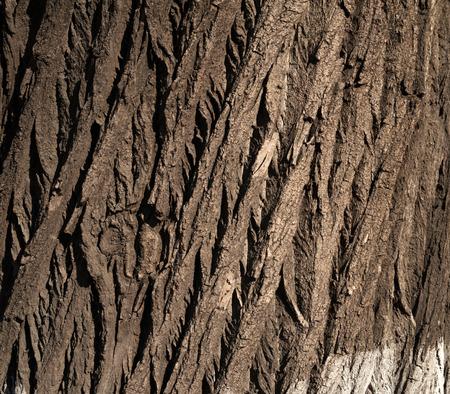 Texture of old big tree bark photo
