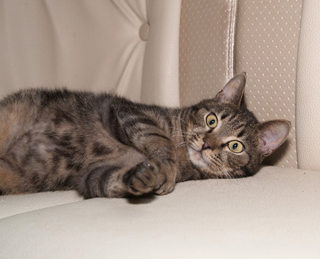 leren bank: Tabby cat playing on gray leather sofa
